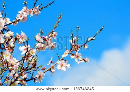 almond flowers under a blue sky with clouds