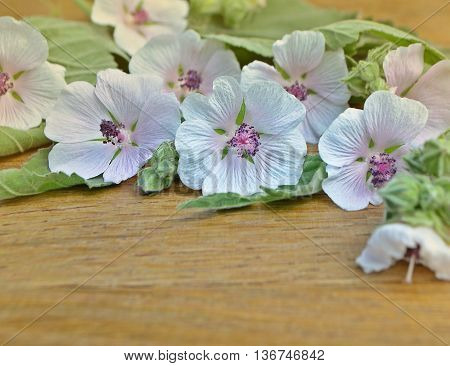 Marshmallow Flower. Althaea