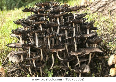 Wood mushroom fungi clusters growing near wooden log in forest meadow closeup