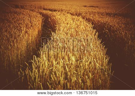 Rye Field with Tractor Tracks. Agriculture Theme. Rye Closeup.