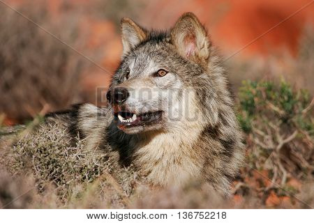 Portrait Of Gray Wolf