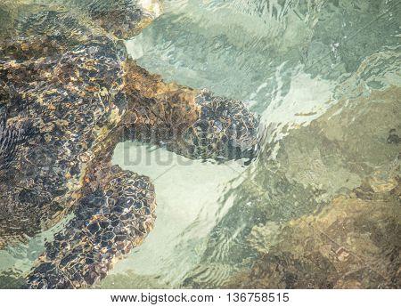 Gentle Maui Green Sea Turtle eating underwater