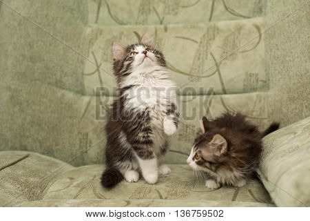 Two little kitten playing on the chair. Pet.