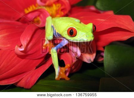 Red eye tree frog on pink flower and green leaves appears to walk towards the viewer and stare with red eyes.