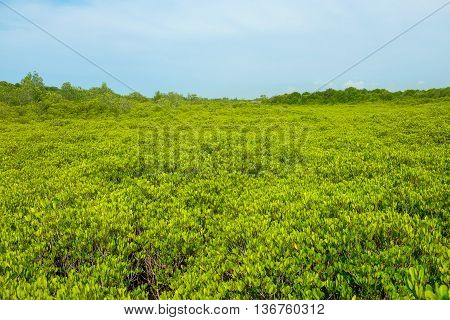 View of Ceriops Tagal field in mangrove forest located at Rayong Thailand. This attraction called