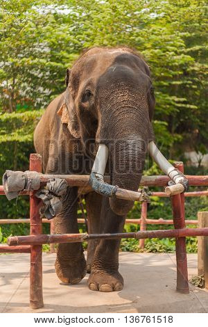 Big Elephant with long tusks in zoo