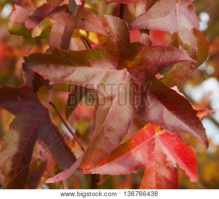 Japanese creeper - Parthenocissus tricuspidata grown as a climbing ornamental plant