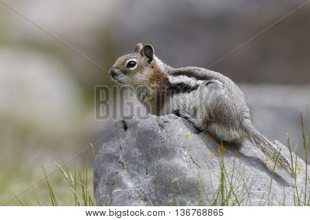 Golden-mantled Ground Squirrel - Jasper National Park, Canada