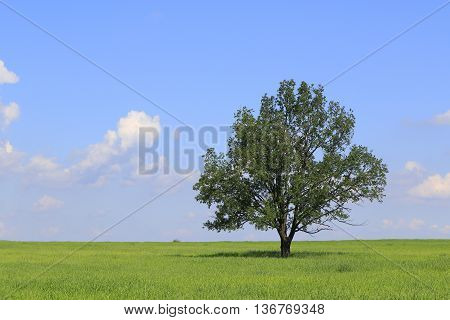 Fresh green field of juvenille grain and lonely deciduous tree in early summerPodlasie regionPolandEurope