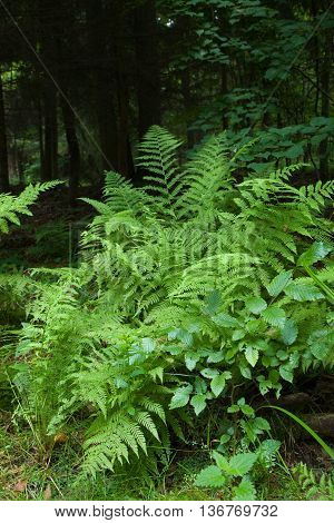 Large fern bunch in summertime shady deciduous stand, Bialowieza Forest, Poland, Europe