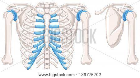 Diagram showing shoulder bones illustration