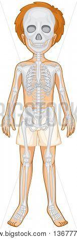 Skeletal system of human boy illustration