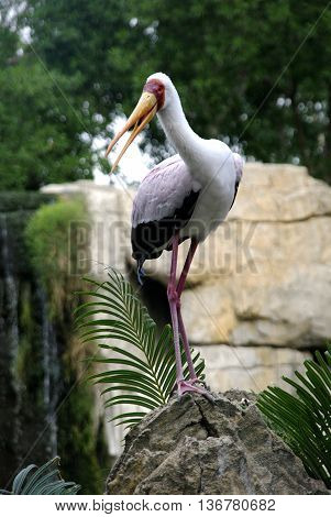 Yellow-Billed Stork (Mycteria ibis) Bird with the beak open