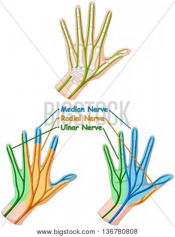 Color diagram showing hand nerve illustration