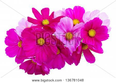 Posy of Cosmos pink flowers isolated on white background