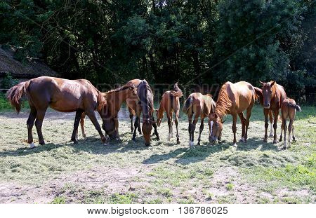 Purebred Gidran Horses Eating Fresh Mown Grass On A Rural Horse Farm When The Sun Goes Down