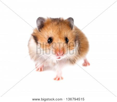 small hamster isolate on a white backround