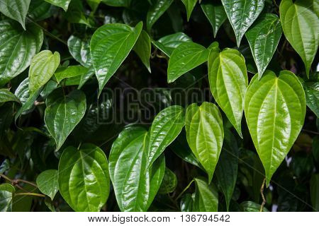 close up fresh green Betel Piper leaves in nature garden