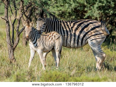 Burchell's Zebra mother and foal in Southern African savannah