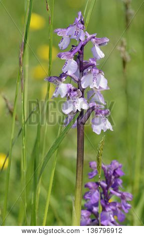 Green-winged Orchid - Anacamptis morio Pale form with normal behind