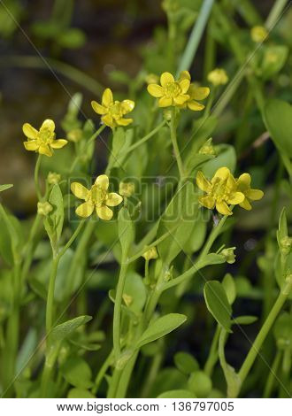 Adderstongue Spearwort or Badgeworth Buttercup - Ranunculus ophioglossifolius