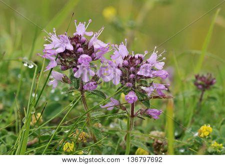 Wild Thyme - Thymus polytrichus  Wild Herb Flower