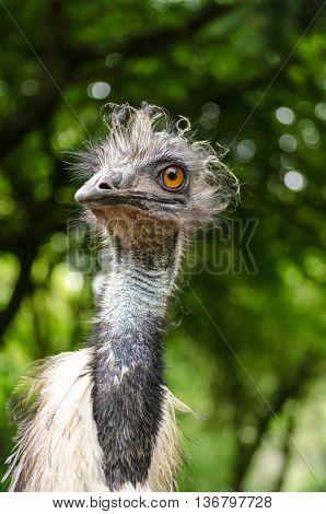 Emu Bird Large Close Up Low Angle Head Face Vertical