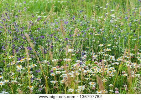 Summer concept for nature backgraund: Abundance of blooming wild flowers on the meadow at summer, sunny day.