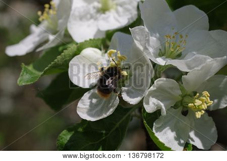 blooming apple tree with green leaf macro