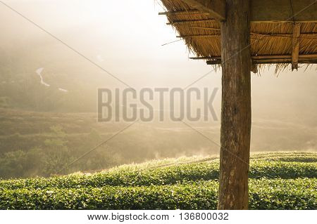 Tea plantations on the mountains with light morning sun caused the fog faded beautiful Doi Ang Khang Chiang Mai Thailand.