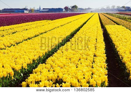 Tulip. Beautiful tulip fields. colorful tulips. tulips in spring,