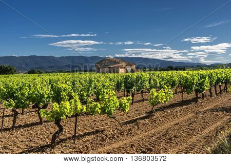 Rows of vines  in the Luberon Provence
