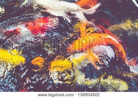 Vintage filter : Koi fish in pondcolorful natural backgroundFaded color.