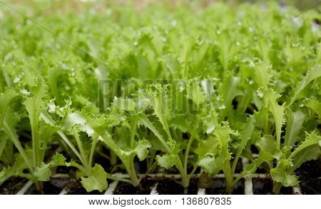 many lettuce sprouts in a row