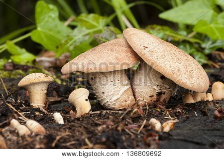 family of capped mushrooms growing on tree stump