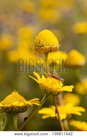 Red insect on yellow daisy flower field collecting nectar and pollen