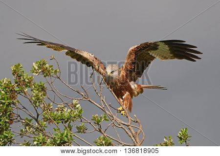 Red kite (Milvus milvus) landing on a branch in its habitat