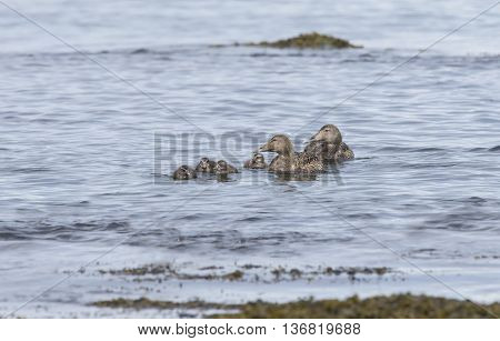 Eider Duck, Females And Juveniles Swimming In The Sea