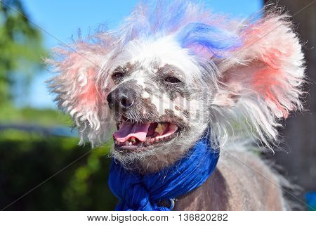 Patriotic Chinese Crested Hairless dog with blue scarf and red and blue dyed fur for 4th of July