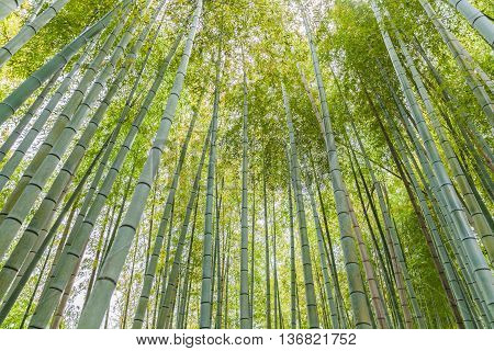 Beautiful bamboo forest at Arashiyama touristy district kyoto