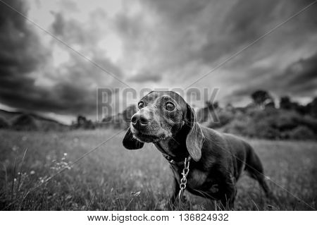 purebred dog for a walk in the park looking at the camera