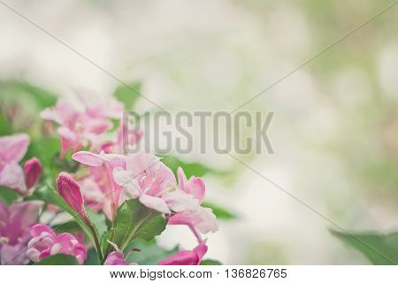 Weigela pink flowers blossom in springtime. Space for text. Selective focus with shallow depth of field