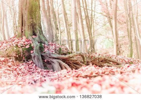 Blurred soft colors fall landscape background with tree roots in the forest and fallen leaves on the ground. Seasonal natural scene. Instagram style pink filter effect used