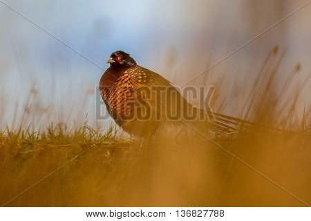 Colorful Pheasant