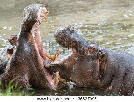 Hippos Yawning in a River in South africa