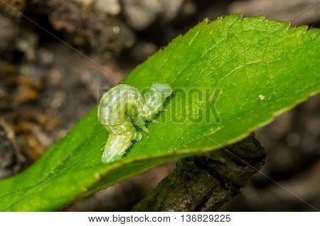 A Green Loopers Larva