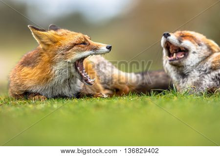Two European Red Foxes Growling