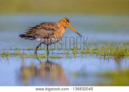 Black Tailed Godwit Walking In Shallow Water Of A Wetland