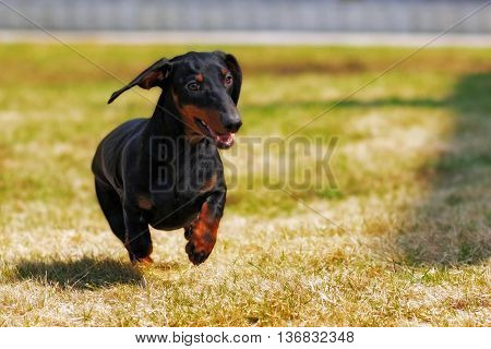 happy dog German haired dwarf Dachshund playing in the back yard running and jumping in the summer on the grass