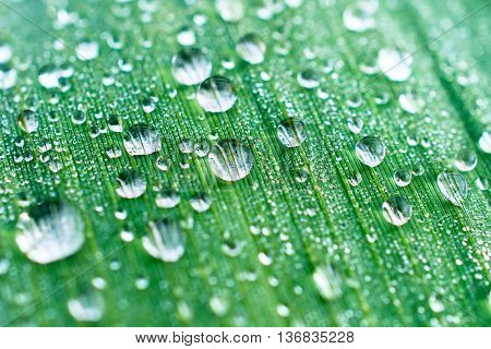 Drops of dew on a leaf marsh reeds. Photo closeup, shallow depth of field.